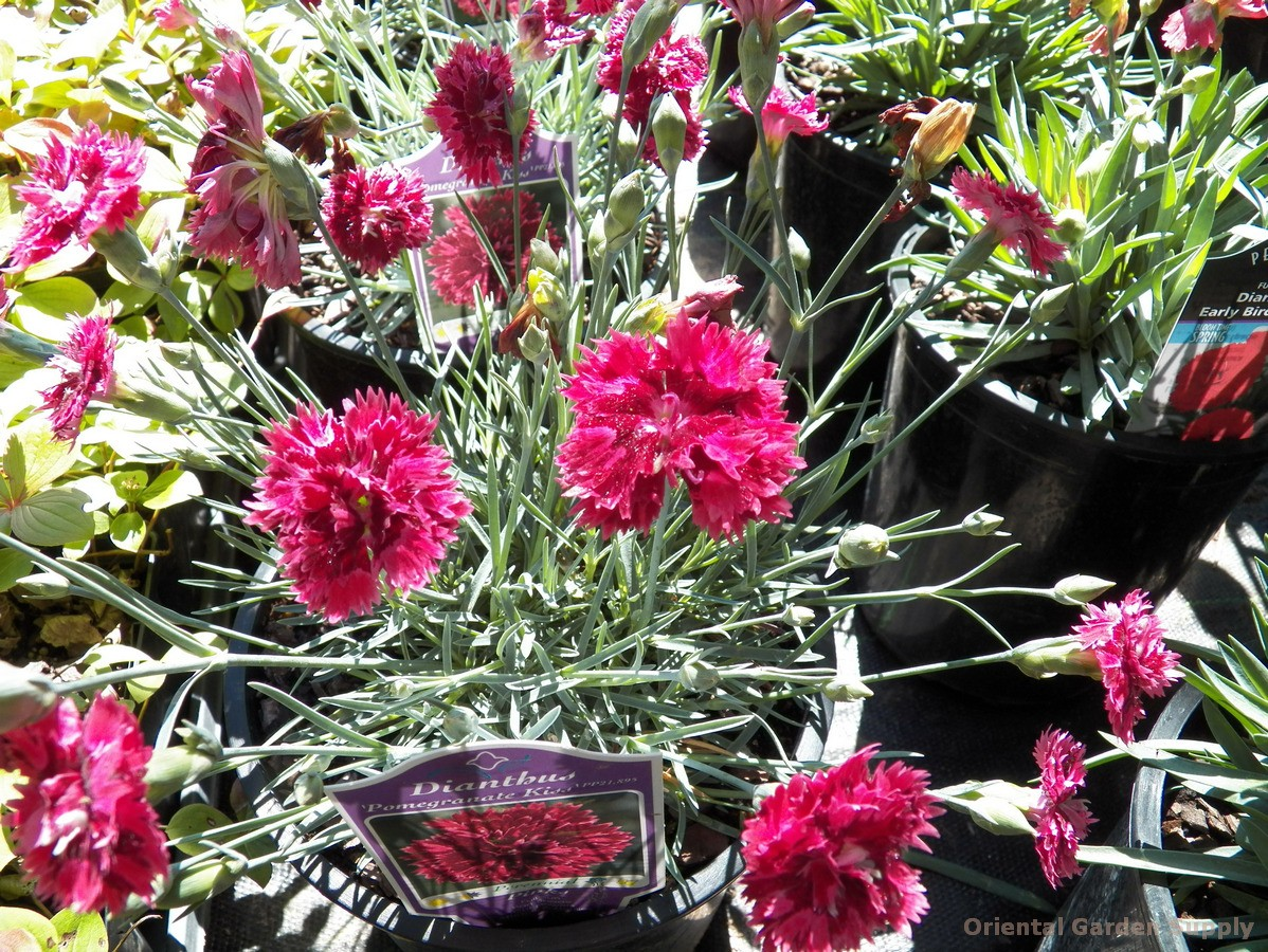 Dianthus 'Pomegranate Kiss'