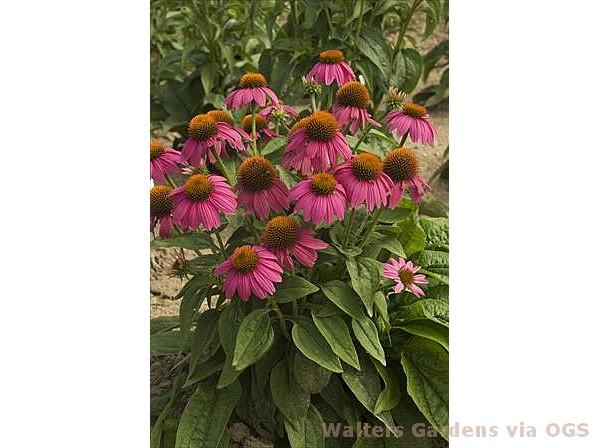 Echinacea purpurea 'Pow Wow Wild Berry'
