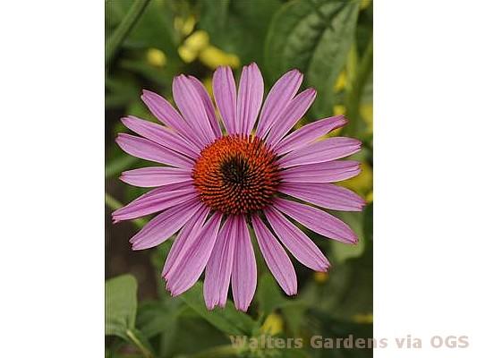 Echinacea purpurea 'Prairie Splendor'