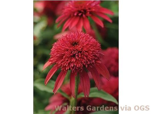 Echinacea 'Double Scoop Cranberry'