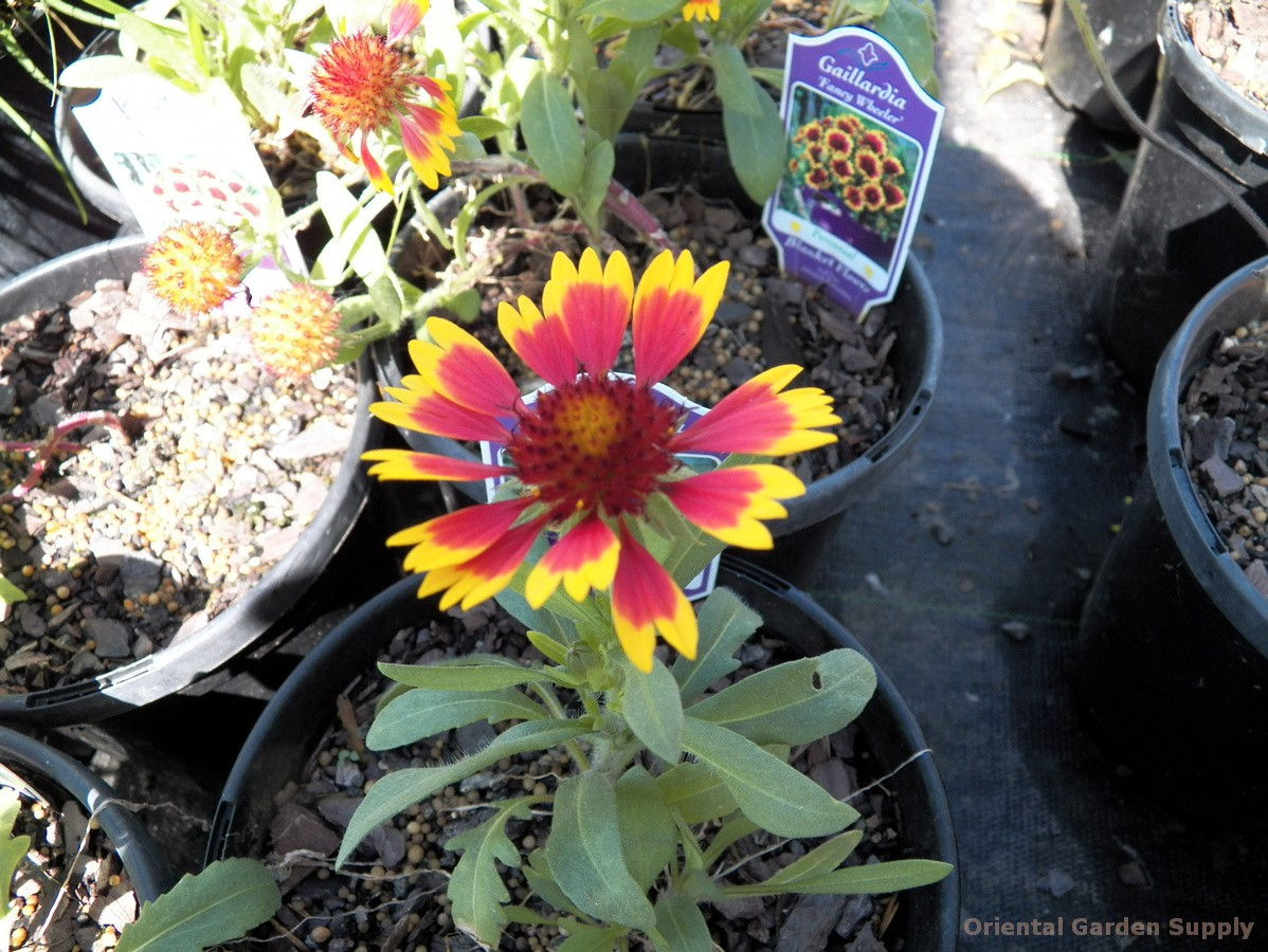 Gaillardia aristata 'Fancy Wheeler'