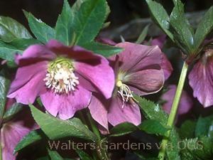Helleborus orientalis 'Royal Heritage'