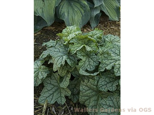 Heuchera 'Mystic Angel'