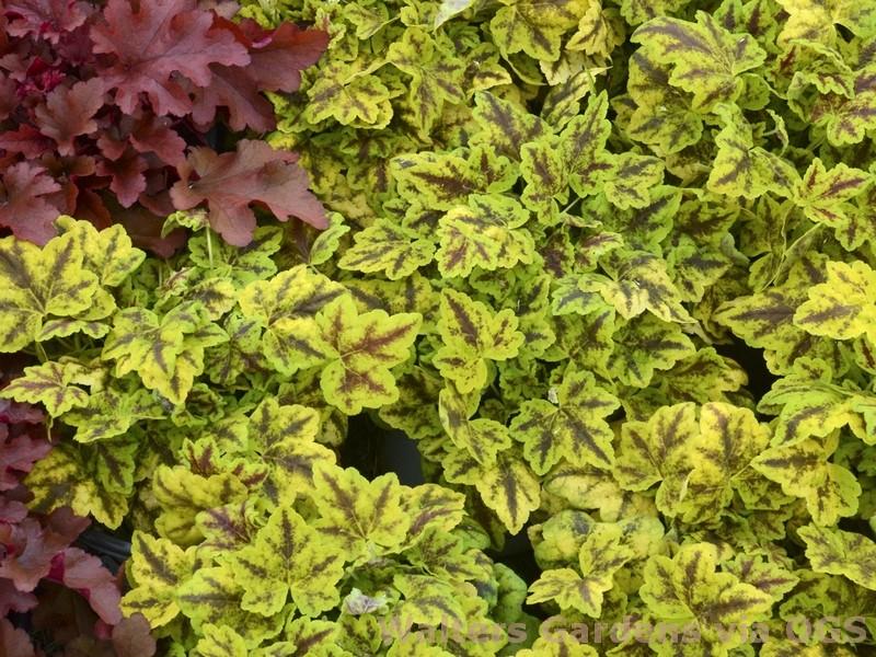 Heucherella 'Leapfrog'