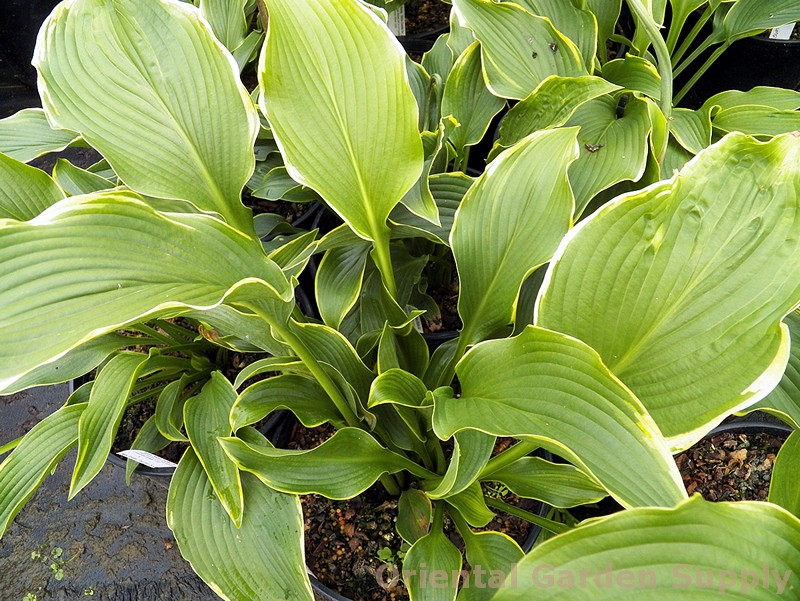 Hosta 'Abba Dabba Do'