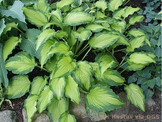 Hosta 'Emerald Ruff Cut'