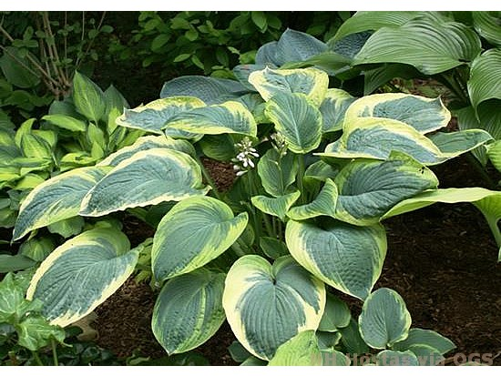 Hosta 'Great Arrival'
