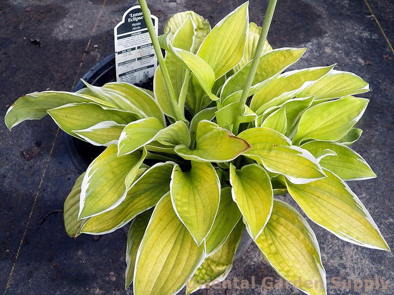 Hosta 'Lunar Eclipse'