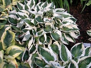 Hosta 'Minute Man'