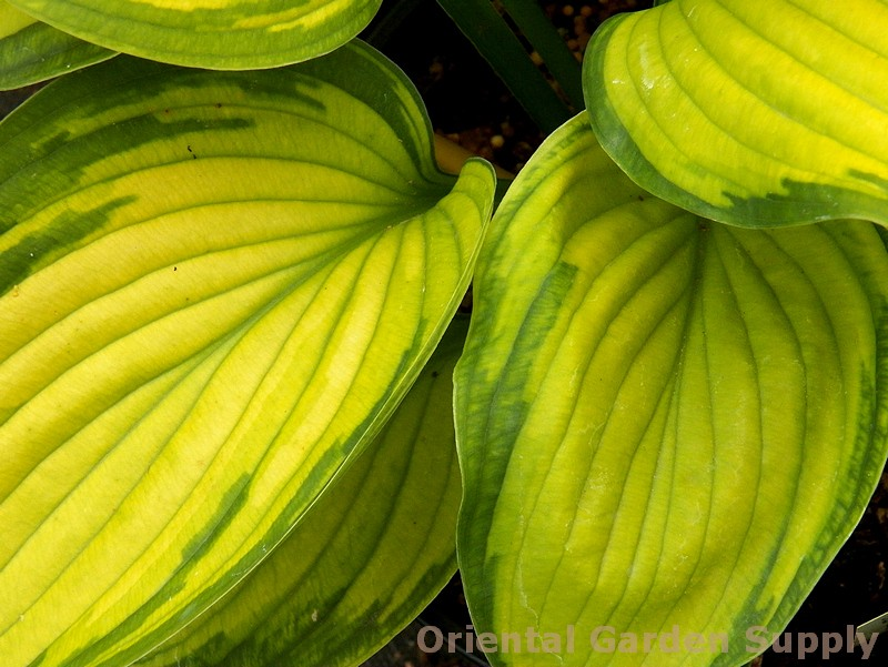 Hosta 'Old Glory'