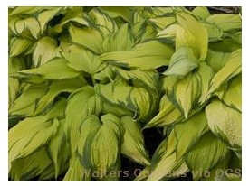 Hosta 'On Stage'