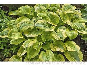 Hosta 'Summer Breeze'