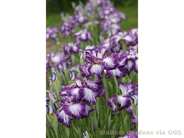 Iris ensata 'Lion King'