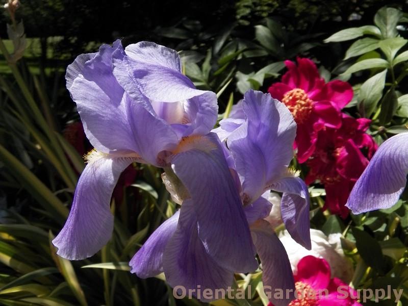 Iris pallida 'Aureo-Variegata'