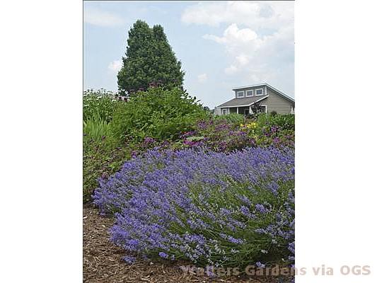 Lavandula angustifolia 'Blue Cushion'