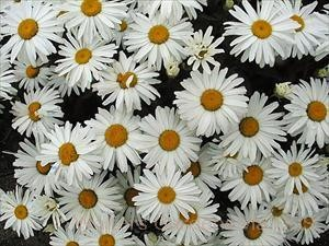 Leucanthemum superbum 'Little Princess'
