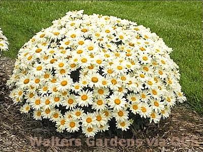 Leucanthemum superbum 'Whoops-a-Daisy'