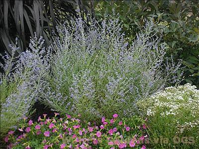 Perovskia atriplicifolia 'Peek-A-Blue'