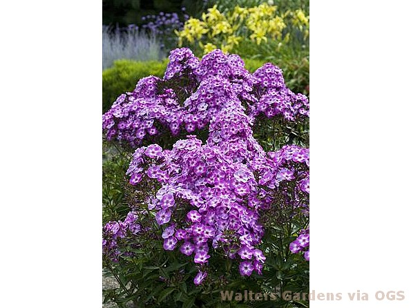 Phlox paniculata 'Pixie Miracle Grace'