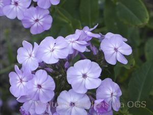 Phlox paniculata 'David's Lavender'