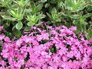 Phlox subulata 'Emerald Pink'