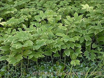Polygonatum odoratum v. thunbergii 'Variegatum'