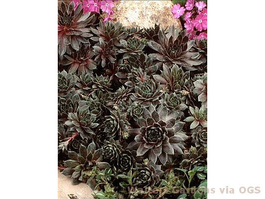 Sempervivum 'Sanford Hybrids'