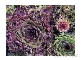 Sempervivum 'Hardy Mix'