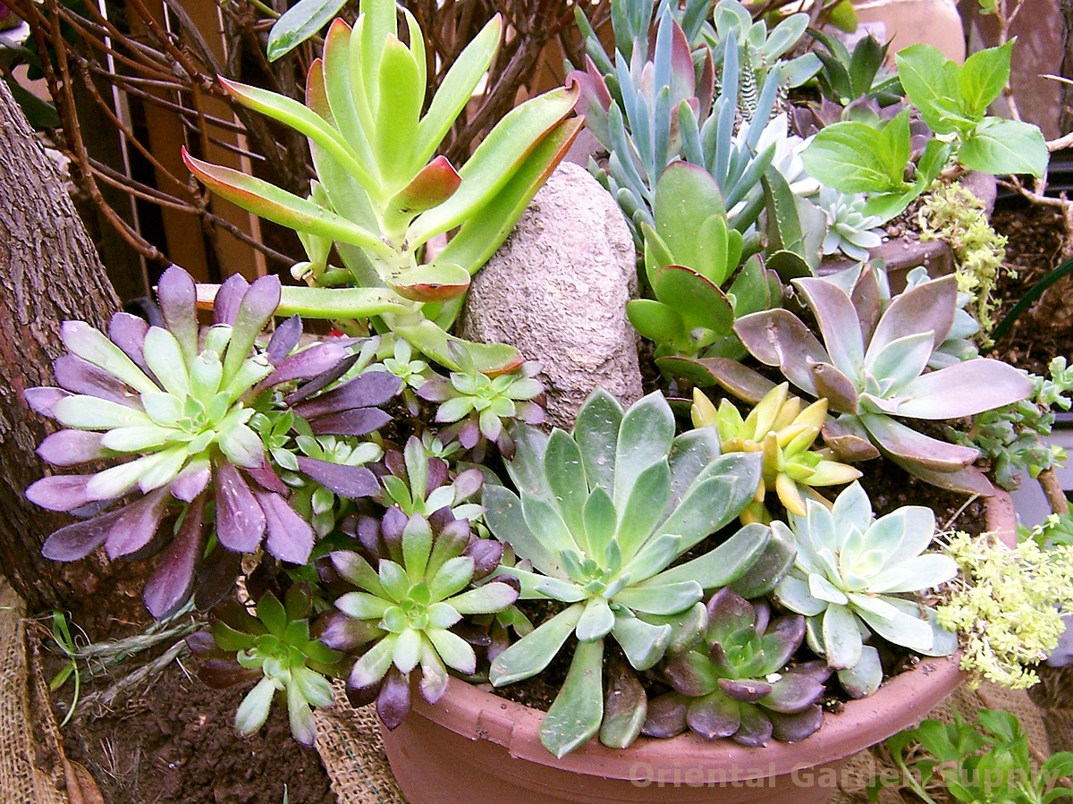 Succulents non-hardy ass't varieties