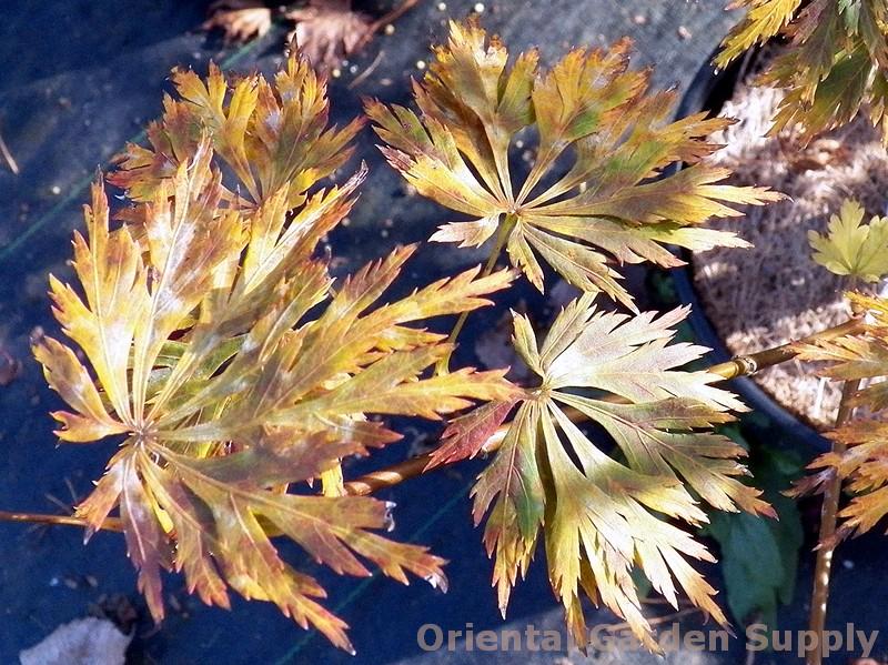 Acer shirasawanum 'Green Snowflake'