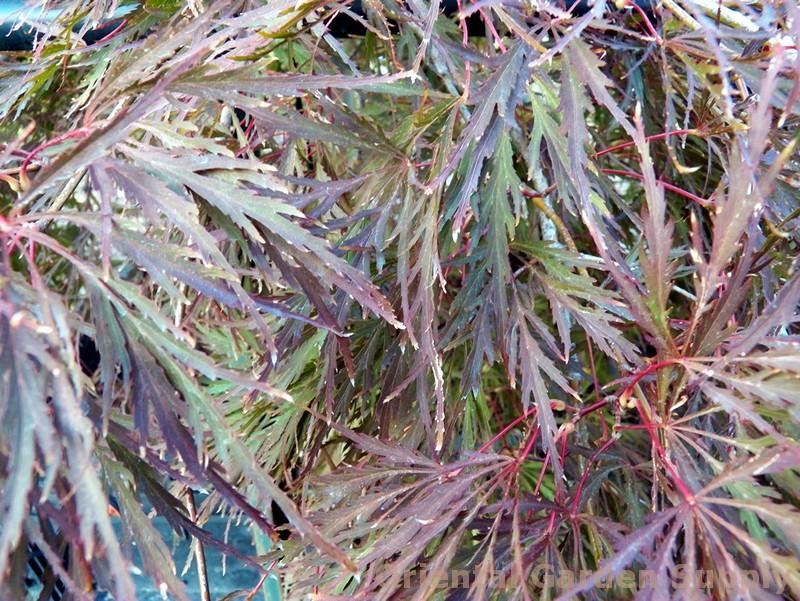 Acer palmatum dissectum 'Everred'