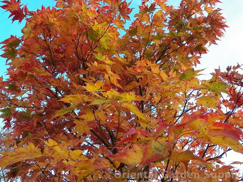 Acer palmatum 'Osakazuki Rubrum'